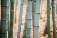 Bamboo grove, bamboo forest Stock Image