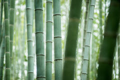 Bamboo grove, bamboo forest Stock Images