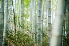 Bamboo grove, bamboo forest Stock Photography