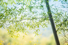 Bamboo grove, bamboo forest Stock Photo