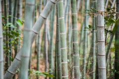 Bamboo grove, bamboo forest Royalty Free Stock Photography