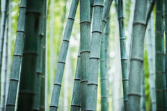 Bamboo grove, bamboo forest Royalty Free Stock Photo