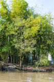 Bamboo grove on the bank of river Royalty Free Stock Photo