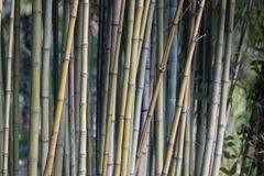 Bamboo grove Royalty Free Stock Photography
