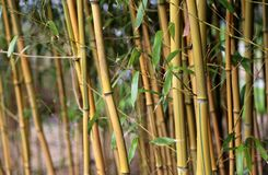 Bamboo Grove close-up. A bamboo grove with shoots, leaves and stems seen from close at spring time Royalty Free Stock Images