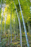 Bamboo grove with dappled sunlight Stock Images