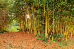 Bamboo grove in evening Stock Images