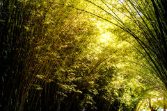 Bamboo grove or forest and background Royalty Free Stock Images