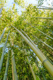 Bamboo grove or forest Royalty Free Stock Photography