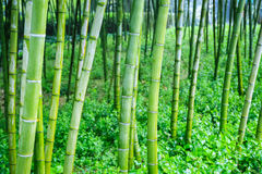Bamboo grove Royalty Free Stock Images