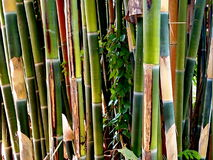 Bamboo grove Stock Photography