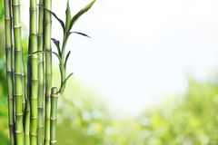 Bamboo. Grove Green Feng Shui Lucky  Japanese Culture Tree Royalty Free Stock Image