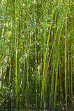 Bamboo grove Royalty Free Stock Photo