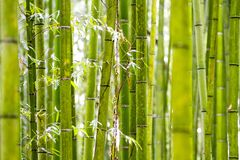 Bamboo Grove in Kyoto Japan Royalty Free Stock Images