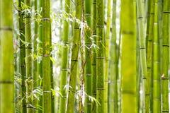 Bamboo Grove in Kyoto Japan. Kyoto, Japan - green bamboo grove in Arashiyama Royalty Free Stock Images