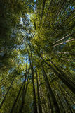 Bamboo Grove. Looking up in a bamboo grove. Yellow Groove Bamboo - Phyllostachys aureosulcata Royalty Free Stock Photo
