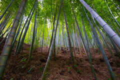 Bamboo Grove in May-Phyllostachys spp. Stock Image