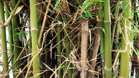 Bamboo grove Stock Photography