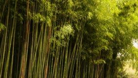 Bamboo Grove. The southern coast of Crimea stock video footage