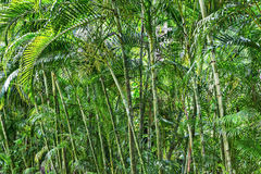 Bamboo grove in a tropical Stock Image
