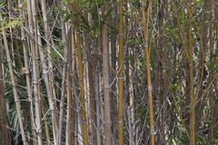 Bamboo grove. Grove of young Royalty Free Stock Photography