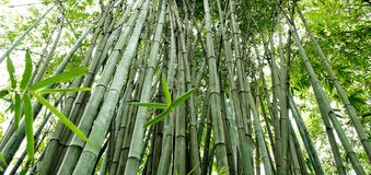 The bamboo groves Stock Images