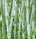 Bamboo groves Stock Photo