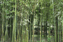 The bamboo groves Royalty Free Stock Photography