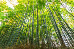 Bamboo Groves, bamboo forest. Royalty Free Stock Photography