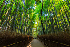 Bamboo Groves. Royalty Free Stock Photography