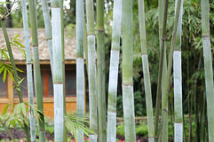 Bamboo groves and hut Royalty Free Stock Photo