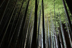 Bamboo groves at night Stock Images