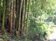 Bamboo growing in Bali Stock Photography