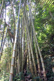 Bamboo growing in Bali Royalty Free Stock Photos