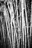 Bamboo growing in clump Royalty Free Stock Image