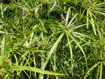 Bamboo growing in a fish pond Royalty Free Stock Photo