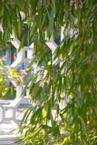 Bamboo growing in front of stone latticework Stock Images