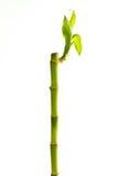 Bamboo growth Stock Photo