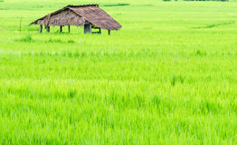 A bamboo hut in paddy fields Stock Photography