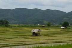 Bamboo hut in the rice fields Royalty Free Stock Image