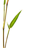 Bamboo Isolated Stock Photo