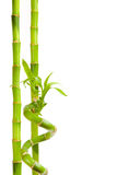 Bamboo isolated on white Stock Photography