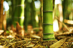 Bamboo at its root Stock Photography