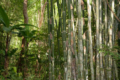 Bamboo in Jungle Royalty Free Stock Images