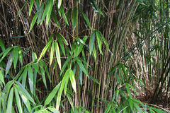 Bamboo Jungle Royalty Free Stock Photos