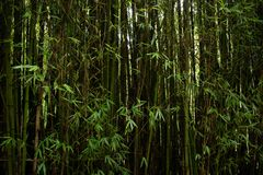Bamboo Jungle Closeup in Colombia royalty free stock photos
