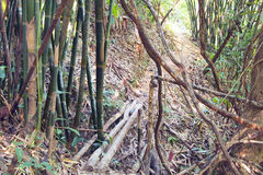Bamboo Jungle Forest Royalty Free Stock Images