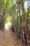 Bamboo Jungle Forest Royalty Free Stock Image