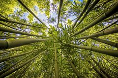 Bamboo Jungle Looking up into the Sky royalty free stock photo