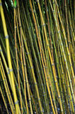 Bamboo jungle,  Monte, Madeira Royalty Free Stock Photography